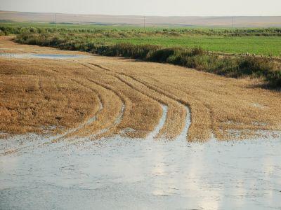 culturile-de-cereale-afectate-in-proportie-de-10-la-suta-de-ploile-din-ultima-vreme