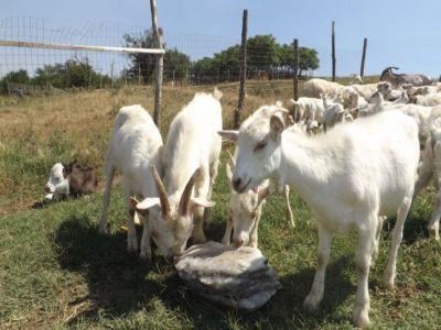 Beneficiile infiintarii unei ferme de capre