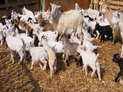 care-sunt-etapele-infiintarii-unei-ferme-de-capre