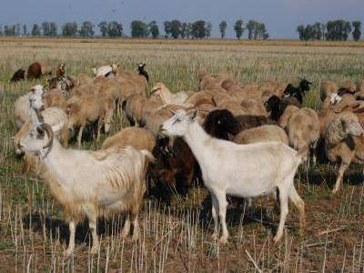 care-sunt-etapele-pentru-infiintarea-unei-ferme-de-capre