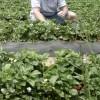 Mulcirea solului în plantaţiile de căpşun, un mijloc ecologic de combatere a buruienilor