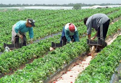 locuri-de-munca-in-agricultura-la-cules-capsuni-in-spania