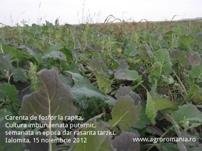 cultivatori-de-rapita-atentie-la-carenta-de-fosfor