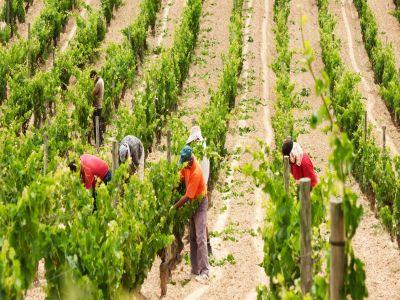 carnetul-de-viticultor-un-nou-document-obligatoriu-pentru-cultivatori-de-vita-de-vie-din-soiuri-nobile
