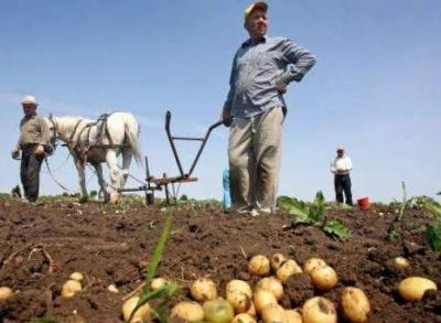 productia-de-cartofi-in-2012-afectata-grav-de-lipsa-precipitatiilor