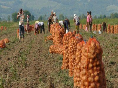 productia-slaba-a-dublat-pretul-cartofilor-de-harghita