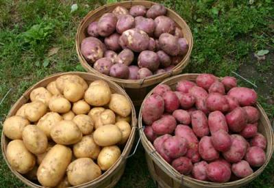 Potatoes yield in Salaj is double this year compared with 2010