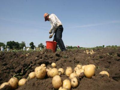 producatorii-din-harghita-au-inceput-recoltarea-cartofilor