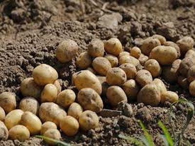 s-au-modificat-criteriile-de-eligibilitate-pentru-obtinerea-sprijinului-cuplat-la-cartof