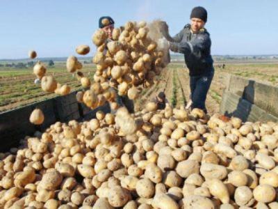 Productie record la cartofii de Harghita