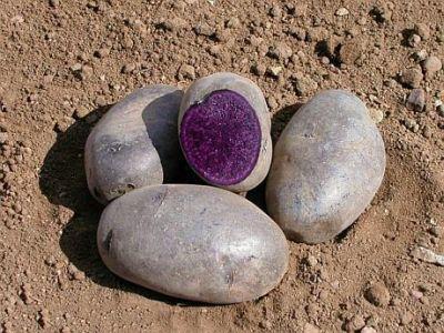 cercetatorii-brasoveni-lucreaza-la-producerea-semintelor-de-cartofi-dulci-si-cartofi-violet
