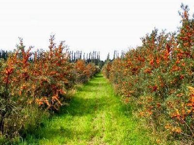 povestea-de-succes-a-primei-familii-de-cultivatori-de-catina-din-judetul-alba