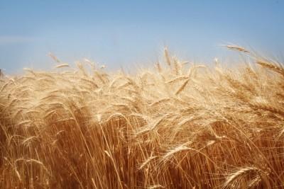 productie-mica-de-cereale-in-judetul-vrancea-in-2012