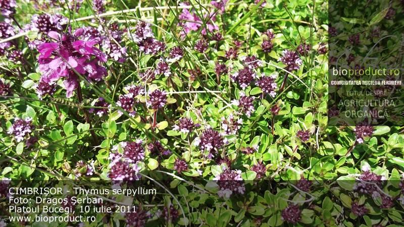 Cimbrişorul (thymus serpyllum) - condiment şi medicament