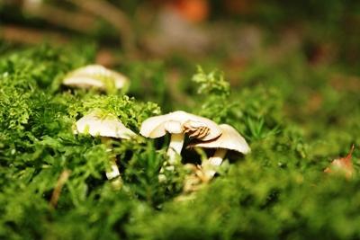 factorii-biologici-de-cultura-a-ciupercilor-agaricus-bisporus
