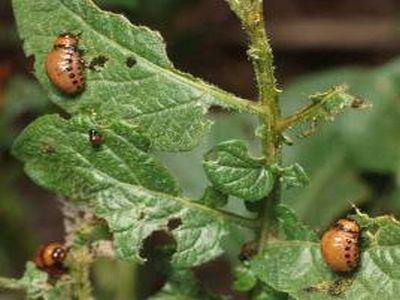 tratamente-fitosanitare-in-culturile-de-cartofi