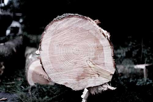 copacii-din-giurgiu-taiati-ilegal
