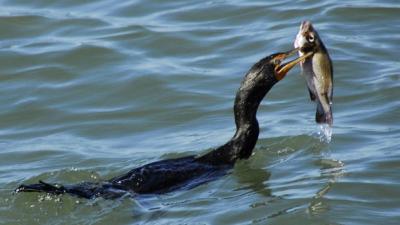 adrian-oros-cormoranii-sunt-o-problema-si-vor-fi-vanati