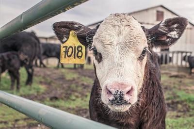 crescatorii-de-bovine-subventie-de-doar-1-euro-pe-vaca