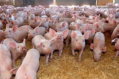 ajutoare-de-11-milioane-de-euro-pentru-producatorii-de-lapte-si-carne-de-porc