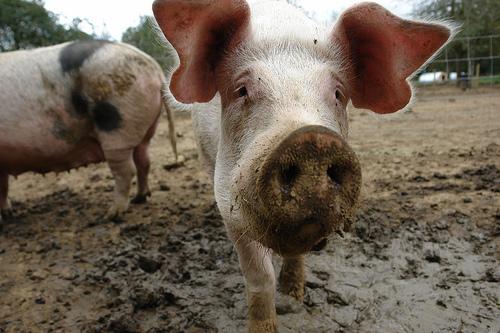 calarasi-campania-de-supraveghere-a-pestei-porcine-clasice