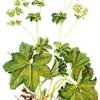 Ceaiul de creţişoară (alchemilla), medicament minune pentru femei