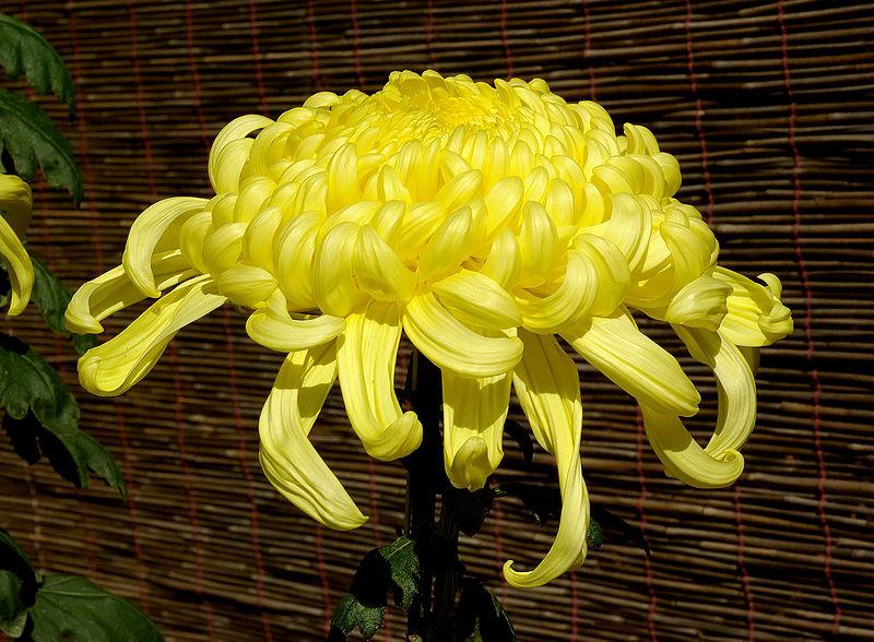 crizantema-planta-lunii-noiembrie