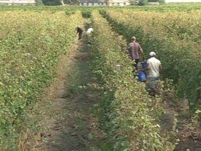 viticultorii-au-mari-dificultati-in-recrutarea-de-zilieri-pentru-culesul-viei