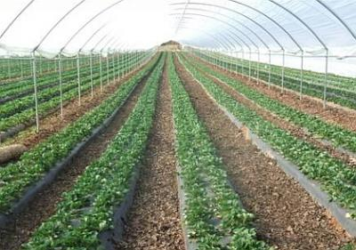 cultivatorii-de-capsuni-pe-forumul-agroromania-va-sfatuiesc-sa-nu-va-grabiti-pana-nu-vedeti-si-prognoza-vremii-pe-luna-februarie