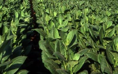 cultivatorii-de-tutun-au-discutat-despre-viitorul-acestui-sector