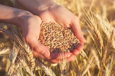 Cum poti obtine un randament mai bun la cultura de cereale - metode la indemana ta