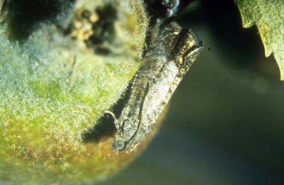 avertizare-fitosanitara-tratamente-la-mar-par-si-gutui-intre-22-si-26-mai