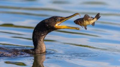 mii-de-cormorani-din-romania-ar-putea-fi-impuscati