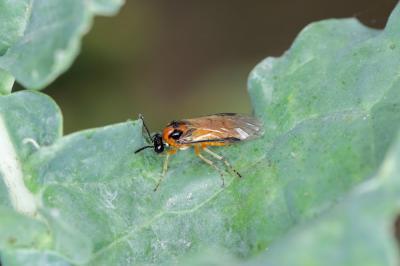 care-sunt-cele-mai-daunatoare-insecte-pentru-cultura-de-rapita-si-cum-protejezi-eficient-plantele