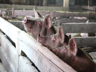 banii-pentru-despagubirea-fermierilor-afectati-de-pesta-porcina-vor-veni-din-fonduri-europene-si-dupa-rectificarea-bugetara
