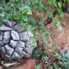 INEDIT Dioscorea elephantipes, planta broască ţestoasă