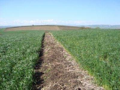 tratamente-fitosanitarepentru-culturile-de-grau-orz-si-secara