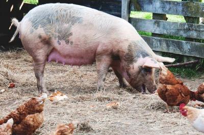 avorturi-spontane-la-porcine-si-gazare-pentru-pui-in-sua-fermierii-nu-mai-au-cui-sa-vanda