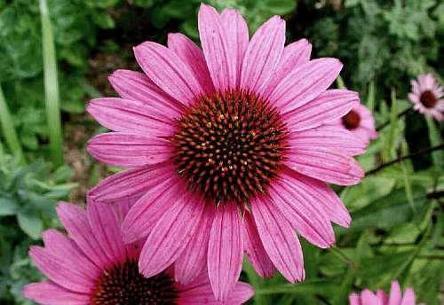 Echinacea - o planta miraculoasa care te ajuta sa slabesti