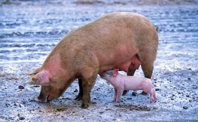 expertii-sua-au-verificat-mai-multe-unitati-pentru-reluarea-exportului-carnii-de-porc-reactia-ansvsa