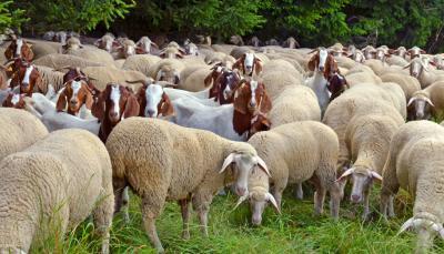 crescatorii-de-pui-oi-capre-si-porci-pot-obtine-peste-286-de-milioane-de-lei