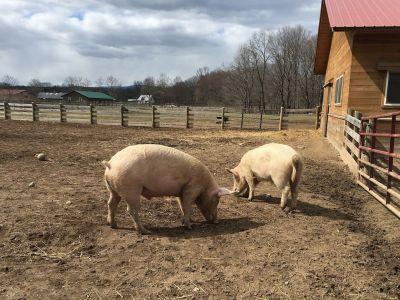 programul-de-sprijin-pentru-crescatorii-de-porci-din-romania-asteapta-avizul-comisiei-europene