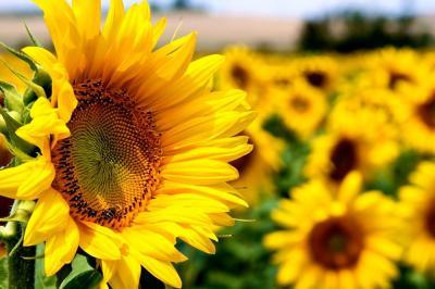 fermier-cred-ca-ar-trebui-sa-renuntam-la-cultura-de-floarea-soarelui