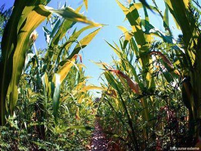 ce-tratamente-fitosanitare-se-aplica-in-culturile-de-porumb-sfecla-de-zahar-si-floarea-soarelui