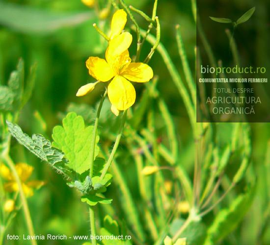 plante-medicinale-usor-de-cultivat-rostopasca-iti-curata-ficatul