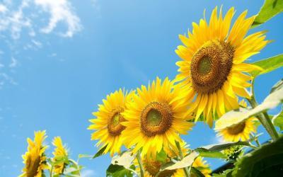 in-doar-4-luni-romania-a-exportat-peste-o-jumatate-de-milion-de-tone-de-floarea-soarelui