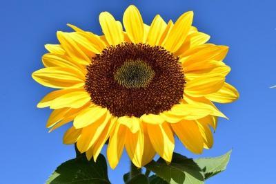 premiera-romania-importa-seminte-de-floarea-soarelui-din-argentina