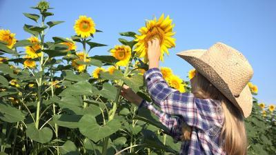utilizarea-hibrizilor-timpurii-in-cadrul-culturii-de-floarea-soarelui