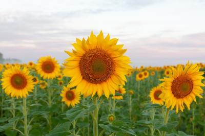 cum-alegi-hibridul-si-sistemul-de-productie-la-floarea-soarelui