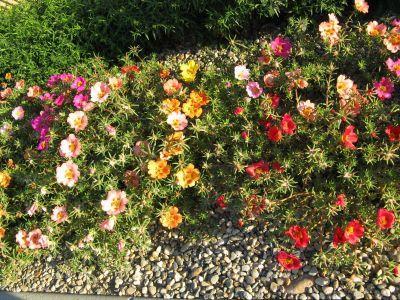 Cresterea si inmultirea florilor de piatra